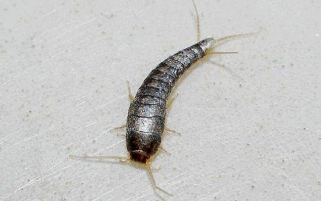 Gümüş Böceği (Gümüşçün) İlaçlama
